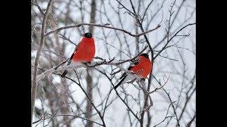 Снегири прилетели в Степногорск 13 февраля