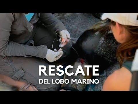 Al rescate del lobo marino
