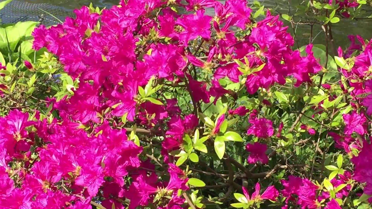 British spring blossoms clusters of dark pink azalea in garden british spring blossoms clusters of dark pink azalea in garden gardening azalea spring mightylinksfo