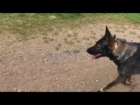 Southend Dog Training Podcast Ep4: prong collar talk