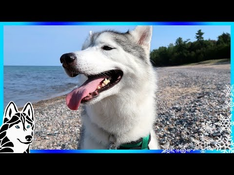 HUSKIES AT THE BEACH | Camping with Dogs | Dog Vlog