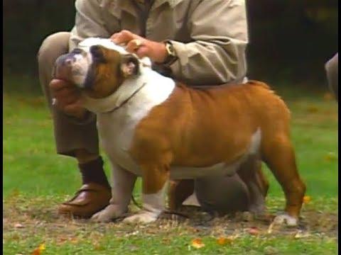 English Bulldog  AKC dog breed series