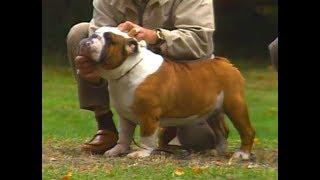 English Bulldog - Bulldog Inglés - イングリッシュ・ブルドッグ - Ame...