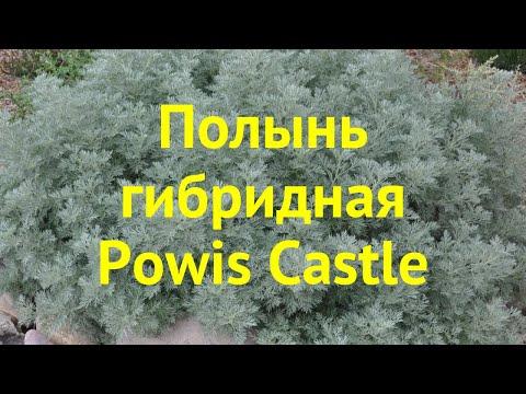 Полынь гибридная Повес кастле. Краткий обзор, описание характеристик Artemisia Hybrida Powis Castle
