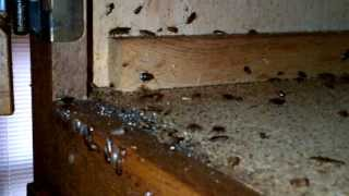 German Roach Infest Kitchen Counters