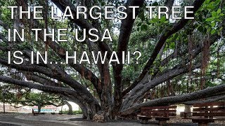 The Biggest Tree in the United States of America is in Hawaii? | Something I Found Interesting