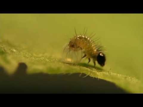 Kamehameha Butterfly hatching