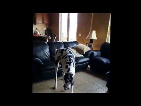 Great Dane Dogs Wear Boots!
