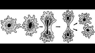 Бесполое размножение.  Ф 2. Урок биологии.