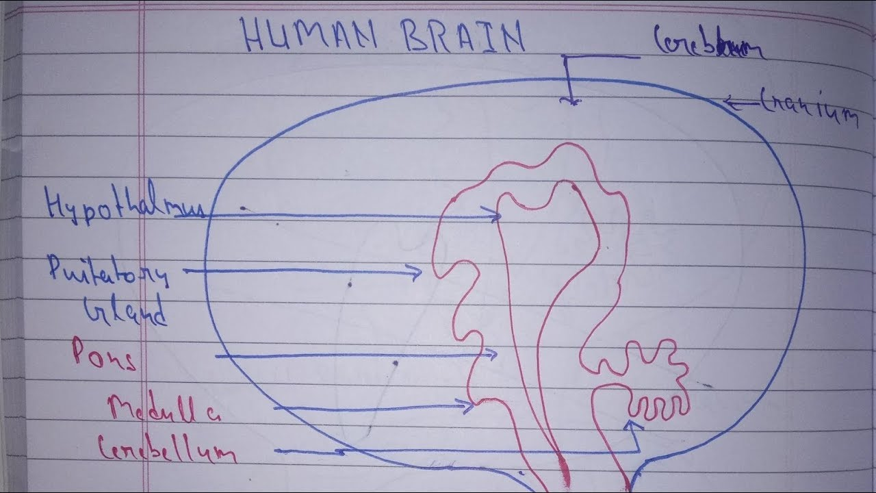 How To Draw Human Brain Diagram Easiest Way Control And