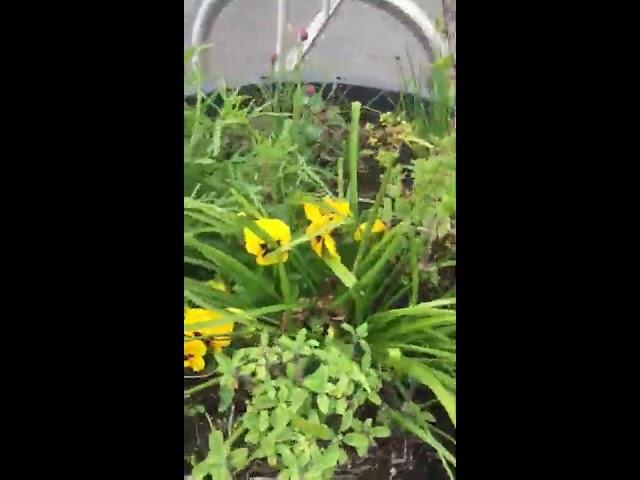 Vine Weavel in the Galways Westend edible pots with The Quarantine Gardener