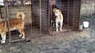 Азиатские и кавказские боевые собаки....
