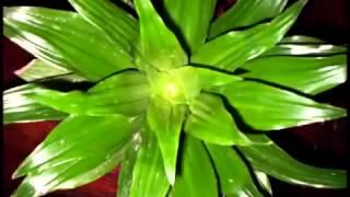 Комнатные цветы  Выращивание и уход Ч 12  Агава,драцена,юкка(, 2015-03-29T13:06:45.000Z)