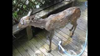 仕事の移動中に道路でフラフラしていた小鹿を保護。 顔や体にペンキを掛...