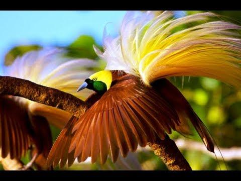 Keindahan Tarian Burung Surga Cendrawasih   Bird Of Paradise
