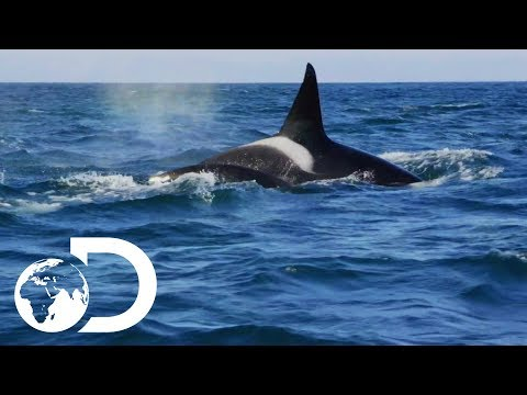 False Bay Orca Pod On The Hunt For Dolphins | Killer Whales: