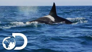 False Bay Orca Pod On The Hunt For Dolphins | Killer Whales: The Mega Hunt