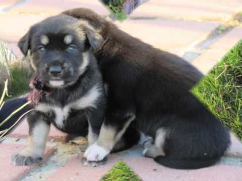 Rottweiler and husky mix puppies very cute