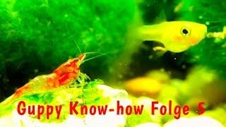 Guppy Know-how Folge 5: Guppys vergesellschaften, Salmler, Bärblinge, Garnelen, HD Dokumentation