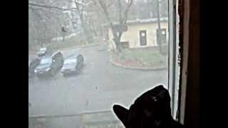 Моя разговорчивая кошка ориентальной породы