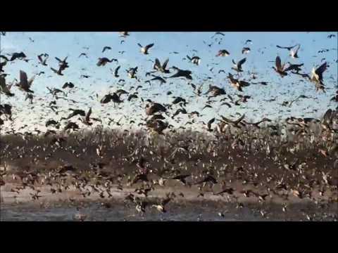 Ducks For Days - Ten Mile Pond Conservation Area (Dec 19, 2016)