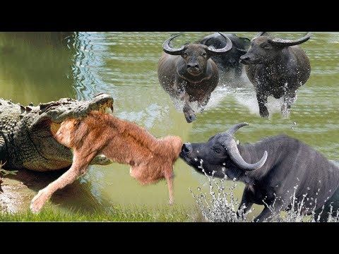 Fighting Moments Of Buffalo V.S Lion in Nature - New Fights Of Wild Animals 2019