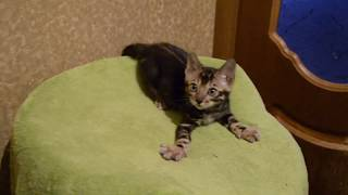 Бенгальский котенок, мраморный окрас