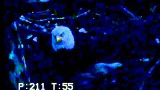Dusk Sets In, B2 Awake, Missed Food - Duke Farms Eagle Cam 2011