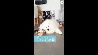柴犬にモテモテなサモエドさん💗 その魅力はやっぱり…😍 #Shorts