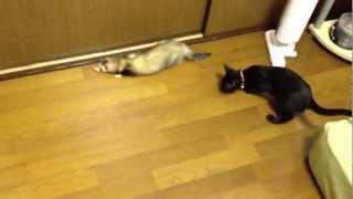 猫とフェレット超バイオレンスなコミュニケーション thumbnail