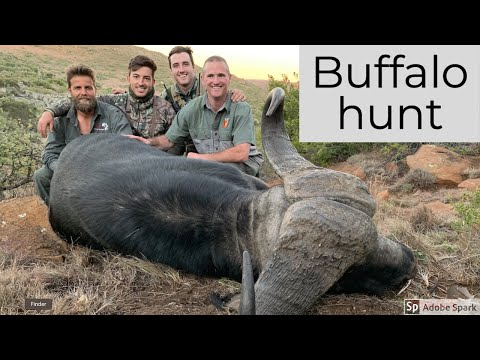 Hunting in Africa | Buffalo hunt at Tollies African Safaris