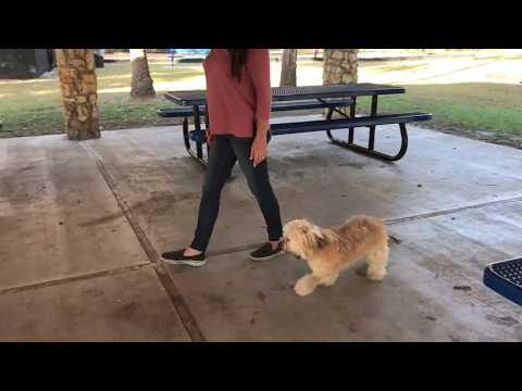 "8 month old Havanese ""Pheobe""/ small dog trainers/ Best trainers orlando"