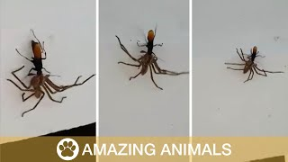 Wasp Poisons Spider And Lays Eggs In It