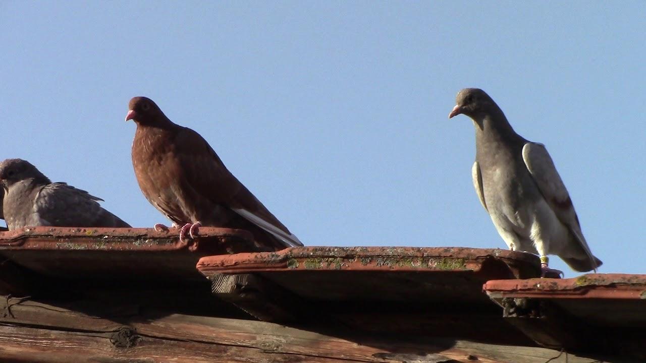 сделать фото голубей на алтае тренинга начинают свободное