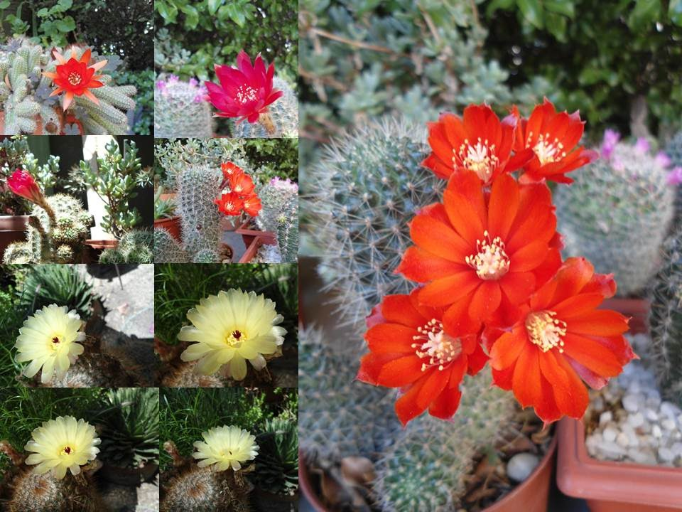 minicactus cactus enanos actividades recreativas On cactus enanos variedades