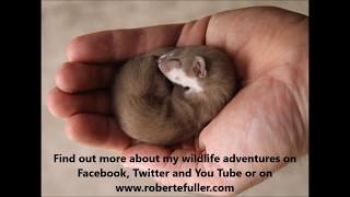 Robert E Fuller: My pet weasel Fidget loves his assault course in my artist's studio
