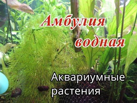 Амбулия водная. Лимнофила водная (Limnophila aquatica)