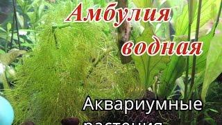 видео Лимнофила водная