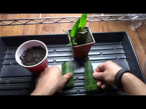 Snake Plant - Mother-in-Law's Tongue: How To Propagate from Cutting - Cloning Snake Plant