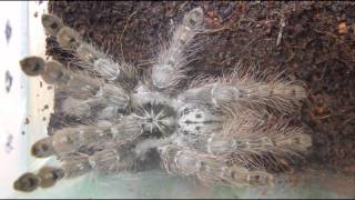 Heteroscodra maculata: Opis Hodowli/Care And Setup #41