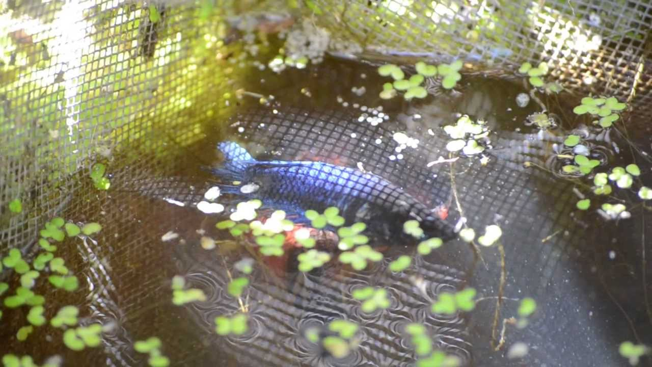 Pet store veiltail betta fish spawning in the wild for Where do fish live