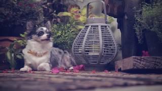 Беременность и роды у собак | Мнение Чихуахуа Софи