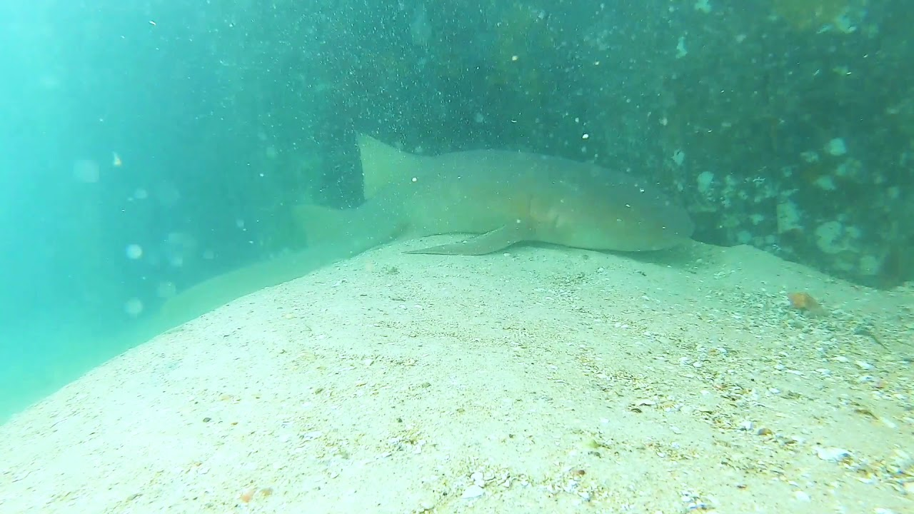 Virtual Class: Nurse Sharks
