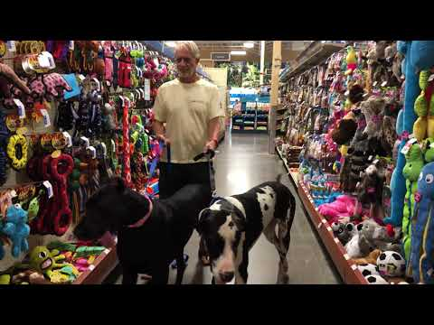 Great Danes have fun in toy aisle of the pet store