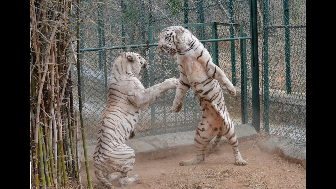 do not make white tiger angry - ever !! - youtube