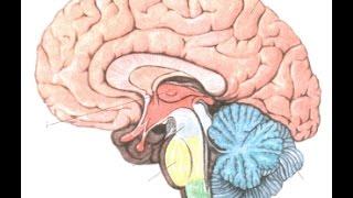 Строение головного мозга.  Урок биологии.