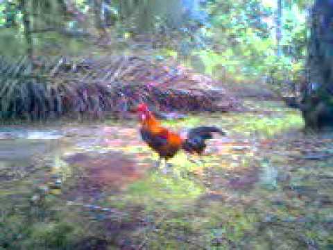 Denak muda (ayam hutan/ Red jungle fowl)