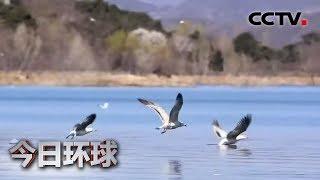[今日环球] 北京:密云水库迎来大批候鸟 | CCTV中文国际