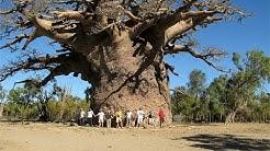 Baobab, trovato il più grande