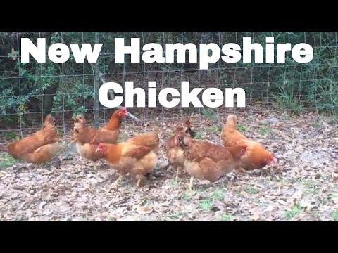 Chicken Breed Analysis- New Hampshire